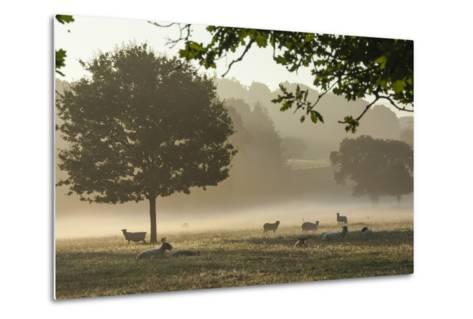 Morning Mist, Sheep Feeding, Eden Valley, Cumbria, England, United Kingdom, Europe-James Emmerson-Metal Print