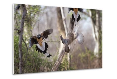 Indian Tree-Pie, Ranthambhore National Park, Rajasthan, India, Asia-Janette Hill-Metal Print
