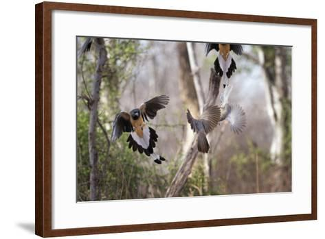 Indian Tree-Pie, Ranthambhore National Park, Rajasthan, India, Asia-Janette Hill-Framed Art Print