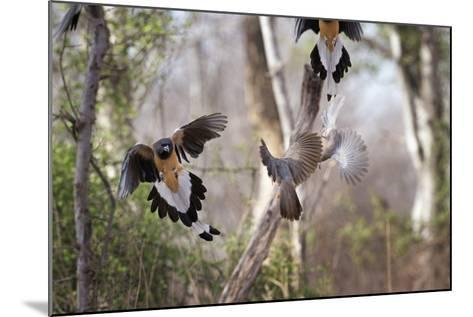 Indian Tree-Pie, Ranthambhore National Park, Rajasthan, India, Asia-Janette Hill-Mounted Photographic Print