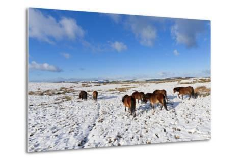 Ponies Forage for Food in the Snow on the Mynydd Epynt Moorland, Powys, Wales-Graham Lawrence-Metal Print