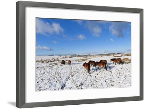 Ponies Forage for Food in the Snow on the Mynydd Epynt Moorland, Powys, Wales-Graham Lawrence-Framed Art Print
