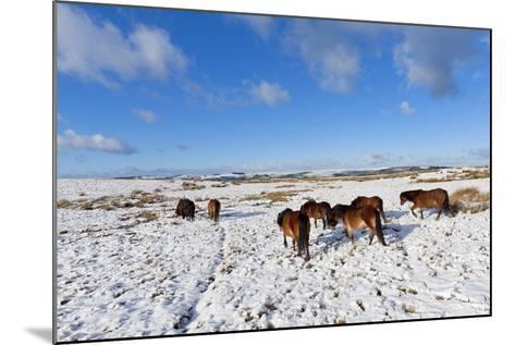 Ponies Forage for Food in the Snow on the Mynydd Epynt Moorland, Powys, Wales-Graham Lawrence-Mounted Photographic Print