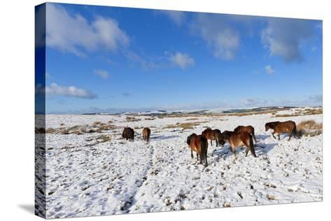 Ponies Forage for Food in the Snow on the Mynydd Epynt Moorland, Powys, Wales-Graham Lawrence-Stretched Canvas Print