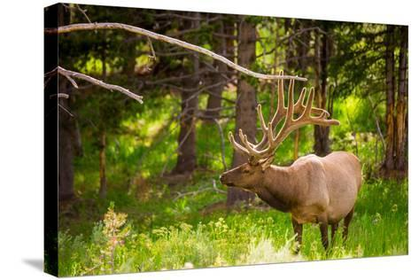 Elk in Yellowstone National Park, Wyoming, United States of America, North America-Laura Grier-Stretched Canvas Print