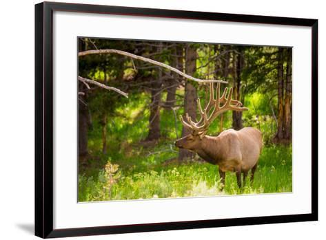 Elk in Yellowstone National Park, Wyoming, United States of America, North America-Laura Grier-Framed Art Print