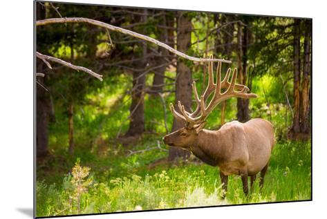 Elk in Yellowstone National Park, Wyoming, United States of America, North America-Laura Grier-Mounted Photographic Print