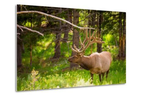 Elk in Yellowstone National Park, Wyoming, United States of America, North America-Laura Grier-Metal Print