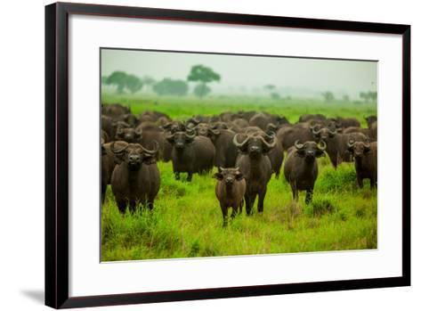 Water Buffalo Standoff on Safari, Mizumi Safari Park, Tanzania, East Africa, Africa-Laura Grier-Framed Art Print