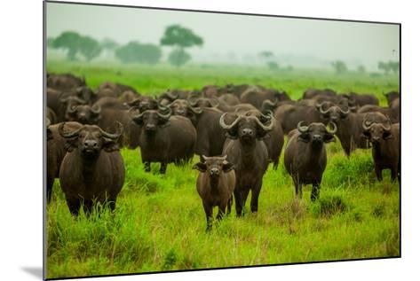Water Buffalo Standoff on Safari, Mizumi Safari Park, Tanzania, East Africa, Africa-Laura Grier-Mounted Photographic Print