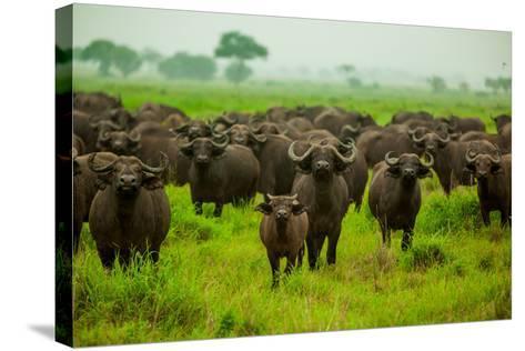 Water Buffalo Standoff on Safari, Mizumi Safari Park, Tanzania, East Africa, Africa-Laura Grier-Stretched Canvas Print