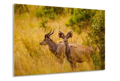 Wild African Deer, at Kruger National Park, Johannesburg, South Africa, Africa-Laura Grier-Metal Print