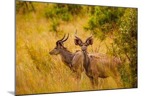 Wild African Deer, at Kruger National Park, Johannesburg, South Africa, Africa-Laura Grier-Mounted Photographic Print