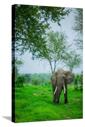 Elephant on Safari, Mizumi Safari Park, Tanzania, East Africa, Africa-Laura Grier-Stretched Canvas Print
