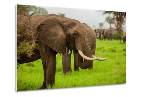 African Elephants on Safari, Mizumi Safari Park, Tanzania, East Africa, Africa-Laura Grier-Metal Print