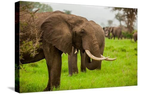 African Elephants on Safari, Mizumi Safari Park, Tanzania, East Africa, Africa-Laura Grier-Stretched Canvas Print