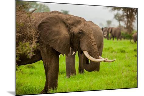 African Elephants on Safari, Mizumi Safari Park, Tanzania, East Africa, Africa-Laura Grier-Mounted Photographic Print