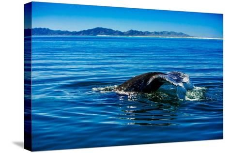 Grey Whales, Whale Watching, Magdalena Bay, Mexico, North America-Laura Grier-Stretched Canvas Print