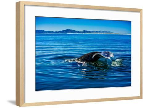 Grey Whales, Whale Watching, Magdalena Bay, Mexico, North America-Laura Grier-Framed Art Print