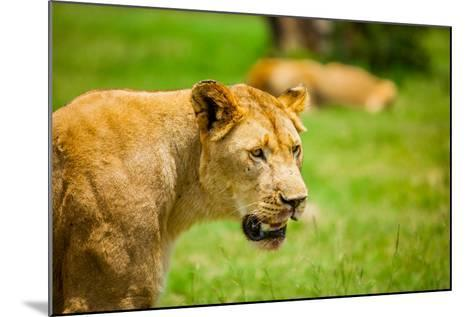 Lioness at Kruger National Park, Johannesburg, South Africa, Africa-Laura Grier-Mounted Photographic Print