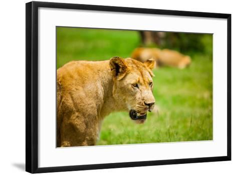 Lioness at Kruger National Park, Johannesburg, South Africa, Africa-Laura Grier-Framed Art Print