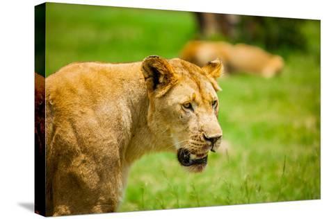 Lioness at Kruger National Park, Johannesburg, South Africa, Africa-Laura Grier-Stretched Canvas Print