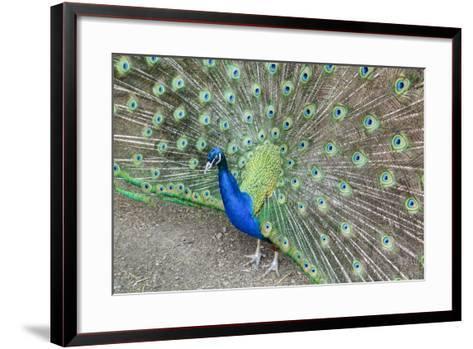 Peacock (Pavo Cristatus), Sequim, Olympic Peninsula, Washington, United States of America-Richard Maschmeyer-Framed Art Print