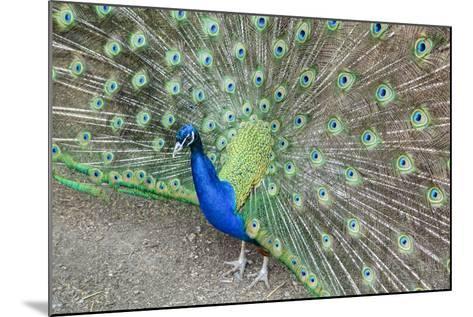 Peacock (Pavo Cristatus), Sequim, Olympic Peninsula, Washington, United States of America-Richard Maschmeyer-Mounted Photographic Print