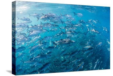 A Large School of Bigeye Trevally (Caranx Sexfasciatus) in Deep Water Near Cabo Pulmo-Michael Nolan-Stretched Canvas Print