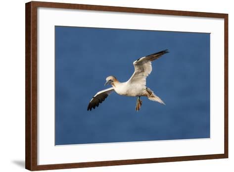 Gannet (Morus Bassanus) in Flight Above the Sea at Bempton Cliffs, Yorkshire, England-Garry Ridsdale-Framed Art Print
