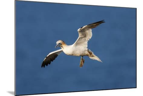 Gannet (Morus Bassanus) in Flight Above the Sea at Bempton Cliffs, Yorkshire, England-Garry Ridsdale-Mounted Photographic Print