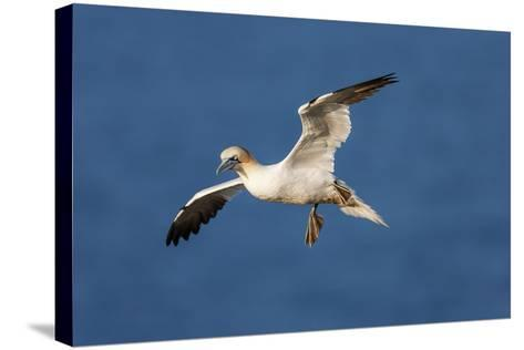 Gannet (Morus Bassanus) in Flight Above the Sea at Bempton Cliffs, Yorkshire, England-Garry Ridsdale-Stretched Canvas Print