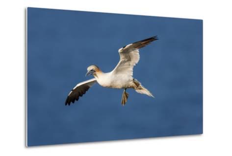 Gannet (Morus Bassanus) in Flight Above the Sea at Bempton Cliffs, Yorkshire, England-Garry Ridsdale-Metal Print