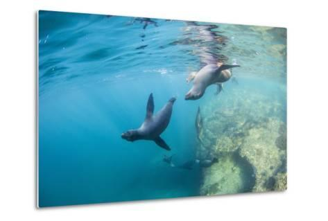 Curious California Sea Lion Pups (Zalophus Californianus), Underwater at Los Islotes-Michael Nolan-Metal Print