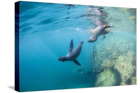 Curious California Sea Lion Pups (Zalophus Californianus), Underwater at Los Islotes-Michael Nolan-Stretched Canvas Print