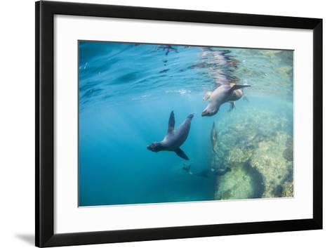 Curious California Sea Lion Pups (Zalophus Californianus), Underwater at Los Islotes-Michael Nolan-Framed Art Print