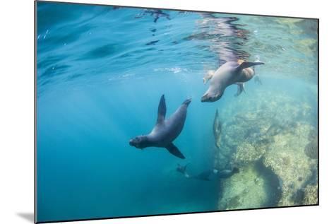Curious California Sea Lion Pups (Zalophus Californianus), Underwater at Los Islotes-Michael Nolan-Mounted Photographic Print