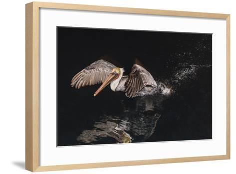 An Adult Brown Pelican (Pelecanus Occidentalis) at Night Near Isla Santa Catalina-Michael Nolan-Framed Art Print