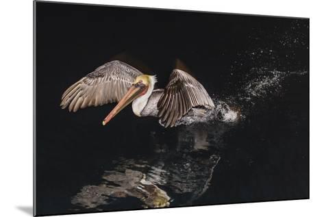 An Adult Brown Pelican (Pelecanus Occidentalis) at Night Near Isla Santa Catalina-Michael Nolan-Mounted Photographic Print