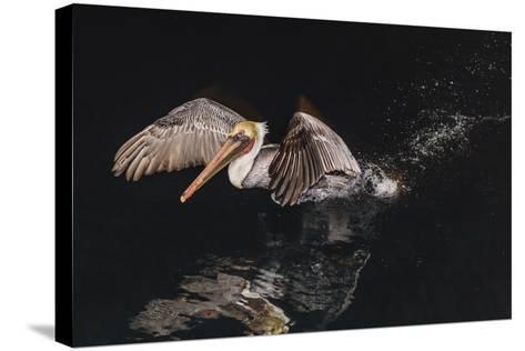 An Adult Brown Pelican (Pelecanus Occidentalis) at Night Near Isla Santa Catalina-Michael Nolan-Stretched Canvas Print
