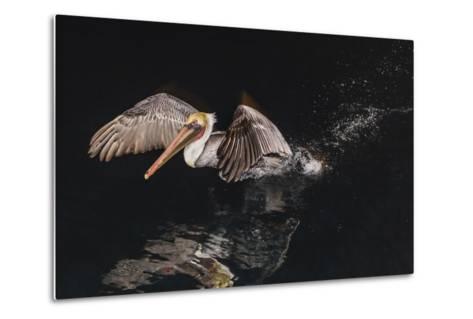 An Adult Brown Pelican (Pelecanus Occidentalis) at Night Near Isla Santa Catalina-Michael Nolan-Metal Print