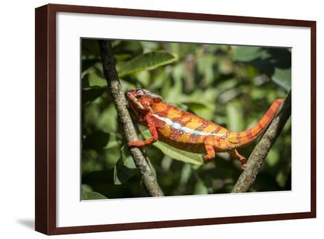 Red Panther Chameleon (Furcifer Pardalis), Endemic to Madagascar, Africa-Matthew Williams-Ellis-Framed Art Print