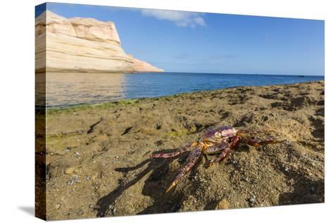 Sally Lightfoot Crab (Grapsus Grapsus), Moulted Exoskeleton at Punta Colorado, Baja California Sur-Michael Nolan-Stretched Canvas Print