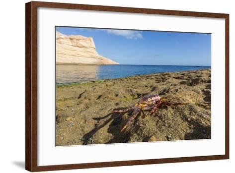Sally Lightfoot Crab (Grapsus Grapsus), Moulted Exoskeleton at Punta Colorado, Baja California Sur-Michael Nolan-Framed Art Print