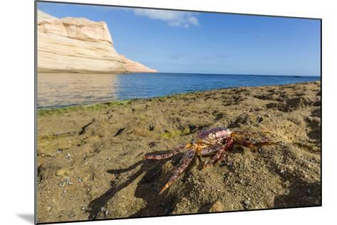 Sally Lightfoot Crab (Grapsus Grapsus), Moulted Exoskeleton at Punta Colorado, Baja California Sur-Michael Nolan-Mounted Photographic Print