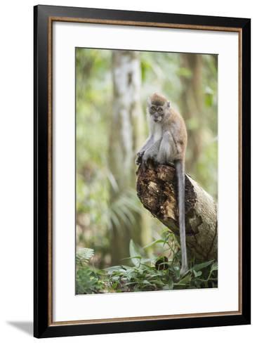 Long Tailed Macaque (Macaca Fascicularis) in the Jungle at Bukit Lawang-Matthew Williams-Ellis-Framed Art Print
