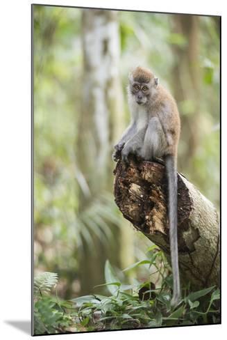 Long Tailed Macaque (Macaca Fascicularis) in the Jungle at Bukit Lawang-Matthew Williams-Ellis-Mounted Photographic Print