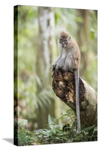 Long Tailed Macaque (Macaca Fascicularis) in the Jungle at Bukit Lawang-Matthew Williams-Ellis-Stretched Canvas Print