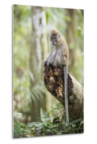 Long Tailed Macaque (Macaca Fascicularis) in the Jungle at Bukit Lawang-Matthew Williams-Ellis-Metal Print