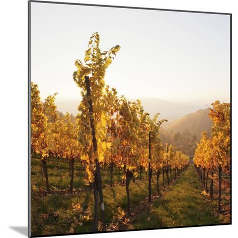 Vineyards in Autumn at Sunset, Stuttgart, Baden-Wurttemberg, Germany, Europe-Markus Lange-Mounted Photographic Print